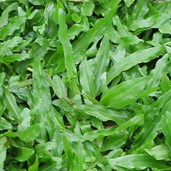 cỏ lá gừng đẹp