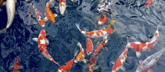 hình cảnh cá chép hóa rồng 1